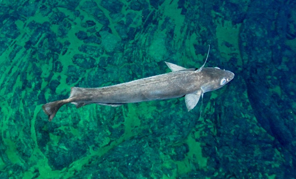 Pacific Flatnose. Photo credit: NSF-OOI/UW/CSSF; Dive R1712; V14