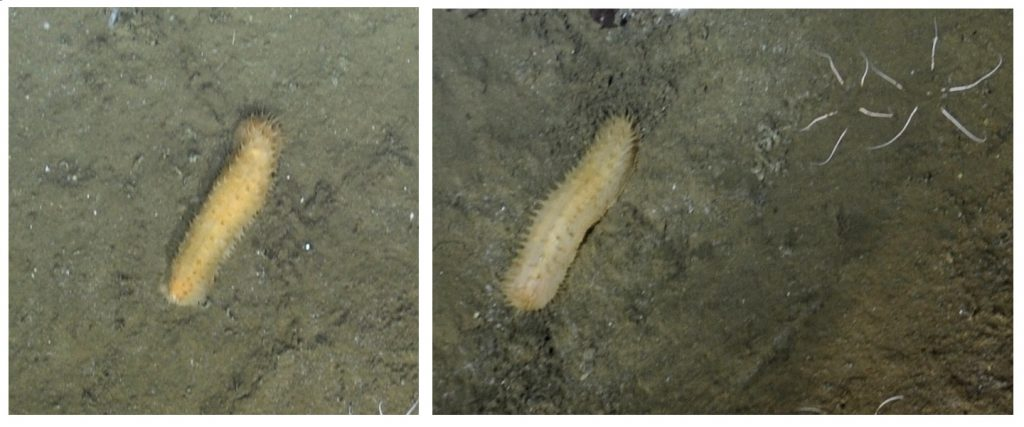 This unknown sea cucumber was found at the base of Axial Seamount, living among the brittle stars. Photo credit: NSF-OOI/UW/CSSF; Dive R1716; V14