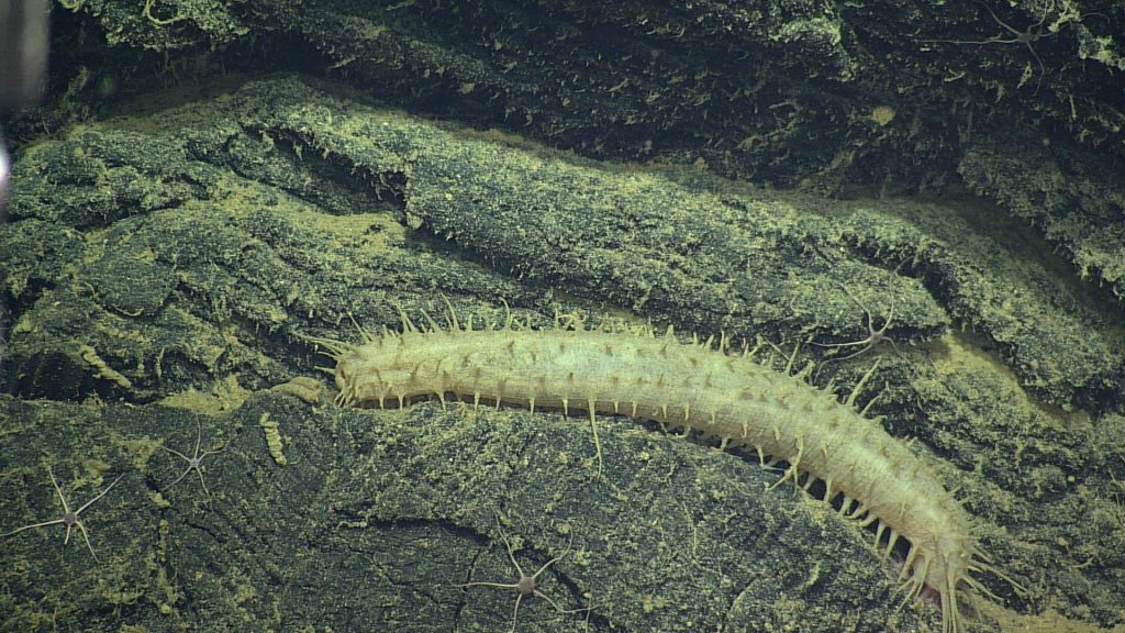 This spiny Holothurian Deep-Sea Cucumber (possibly of Genus Pannychia) has been seen on many regions of Axial Seamount. Photo credit: NSF-OOI/UW/CSSF; V13