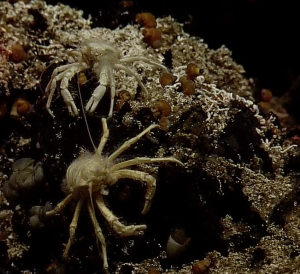 Two Squat Lobsters on Escargot vent, Axial Seamount. Photo credit: NSF-OOI/UW/WHOI; V11