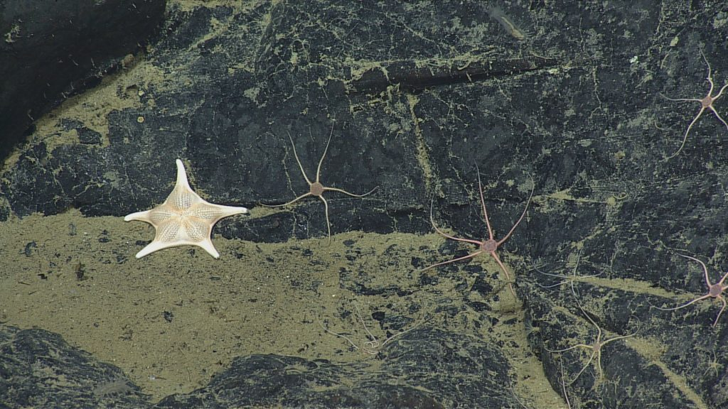 A Goniasteridae seastar (unknown species) hangs out with the local resident brittle stars on Axial. Photo credit: NSF-OOI/UW/CSSF; Dive R1721; V14.