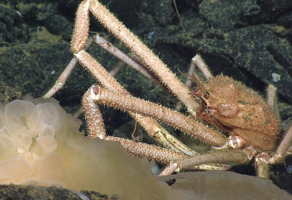 This spider crab takes full advantage of a large food source - probably a jellyfish or anemone - on Axial Seamount's lava floor. Photo credit: NSF-OOI/UW/CSSF; Dive R1720; V14.