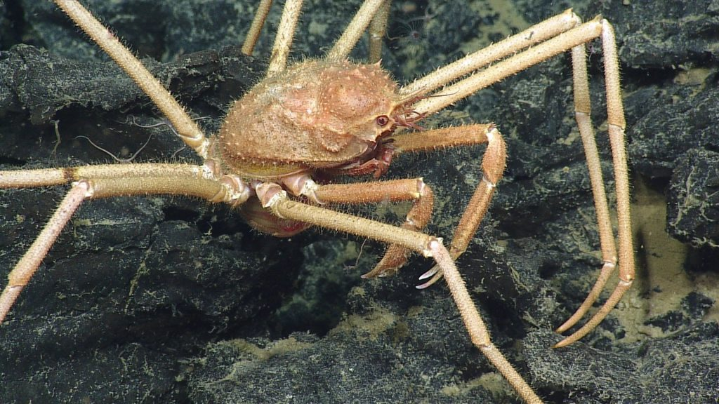 Spider crabs are quite common throughout Axial Seamount's caldera. Photo credit: NSF-OOI/UW/CSSF; Dive R1721; V14.