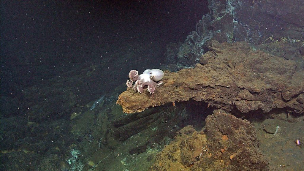 A beautiful octopus sits atop a ledge at the base of the hydrothermal vent called Escargot in the International District hydrothermal vent field at Axial Seamount. Photo credit: NSF-OOI/UW/CSSF; Dive R1719; V14.