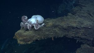 The large pink octopus, Graneledone pacifica sits on a ledge at Escargot hydrothermal vent. Photo credit: NSF-OOI/UW/CSSF; Dive R1719; V14.