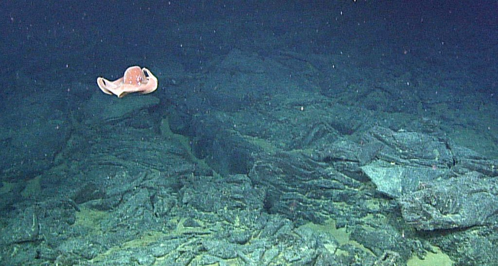 An octopus swims above a rubbly lava flow 5000 ft beneath the ocean's surface at the summit of Axial Seamount. Photo credit: NSF-OOI/UW/CSSF; Dive 1712; V14.
