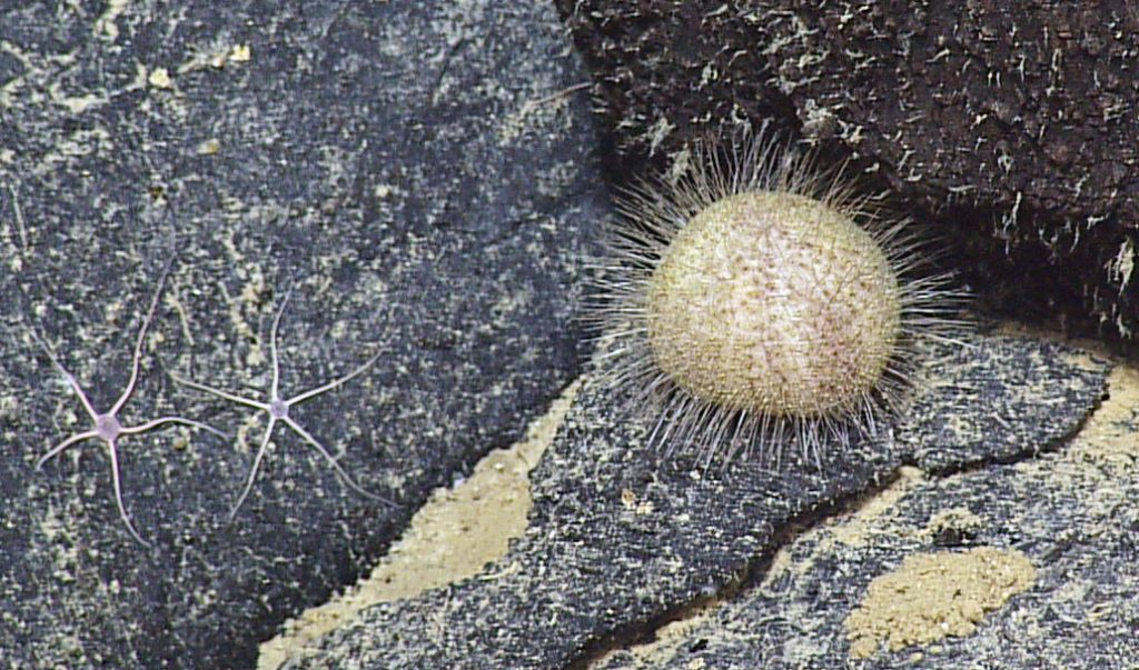 A beautiful sea urchin sits on a young lava flow at the summit of Axial Seamount. Photo Credit: NSF-OOI/UW/CSSF; Dive R1712; V14.