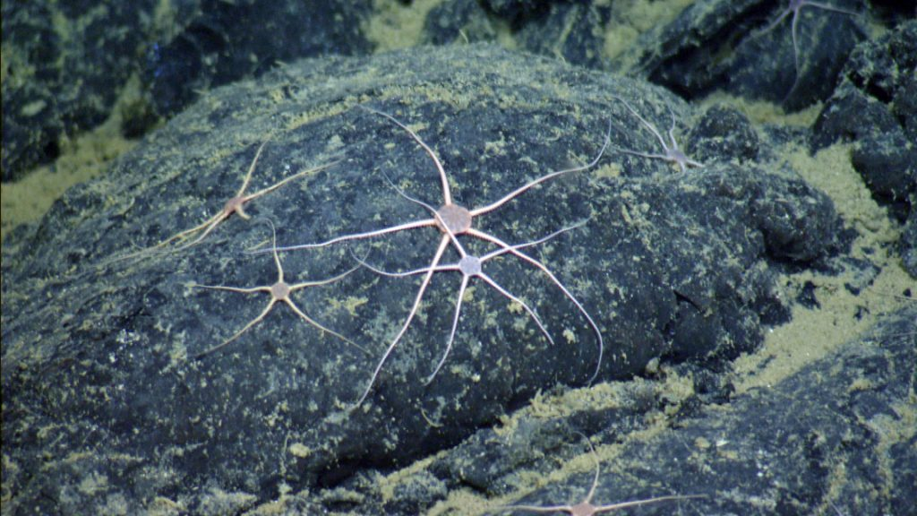 Brittle stars of the species Spinophiura jolliveti are very abundant on all the lava rocks at Axial Seamount within the caldera. Photo credit: NSF-OOI/UW/CSSF.