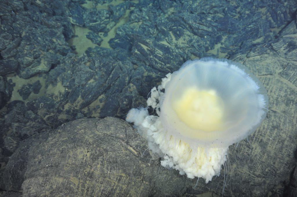 A large Fried Egg Jelly (Phacellophora cantschatica) hugs the basalts along the floor of Axial Volcano. VISIONS '13, Leg 4. The jellyfish is likely a 'fried egg' jelly. VISIONS '13, Leg 4. Photo credit: NSF-OOI/UW/CSSF.