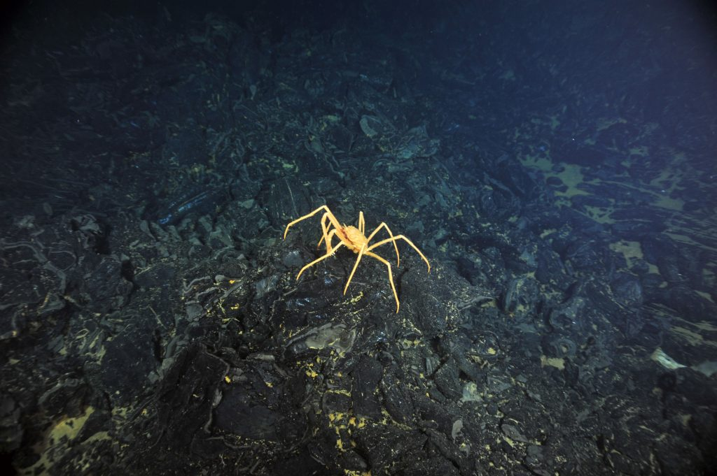 A crab picks its way across a glassy, jumbled lava flow in the caldera of Axial Seamount. VISIONS '13, Leg 4  	Photo credit: NSF-OOI/UW/CSSF