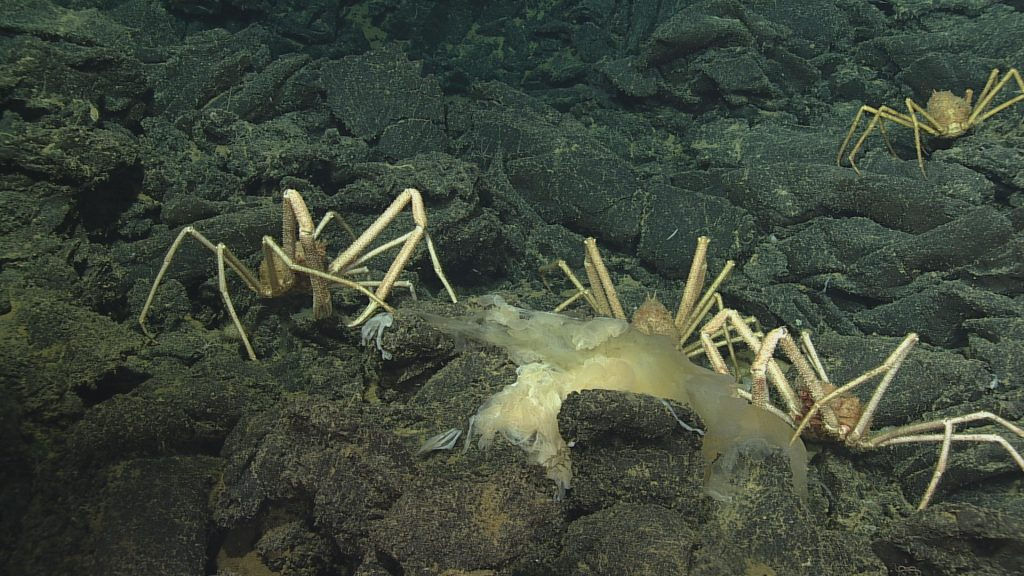 Several crabs dine on a jellyfish buffet on Axial Seamount. (VISIONS '13 Dive R-1615) Photo credit: OOI-NSF/UW/CSSF