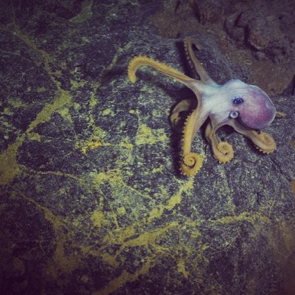 Octopus on a lava flow in the caldera of Axial Volcano at a depth of ~ 1500 m (nearly 5000 ft).