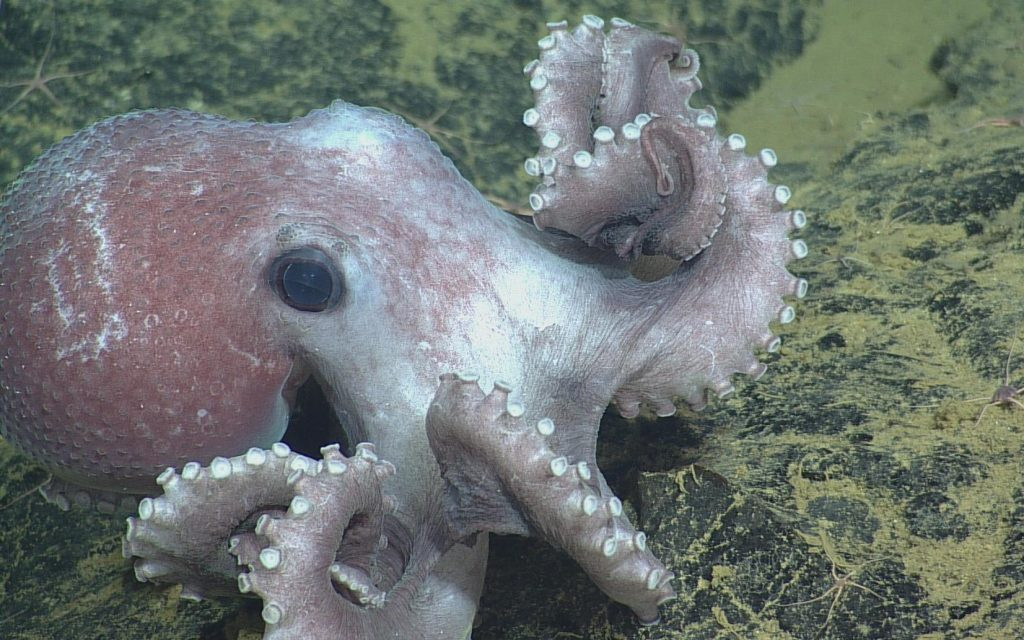Graneledone Octopus close-up at Axial Seamount.