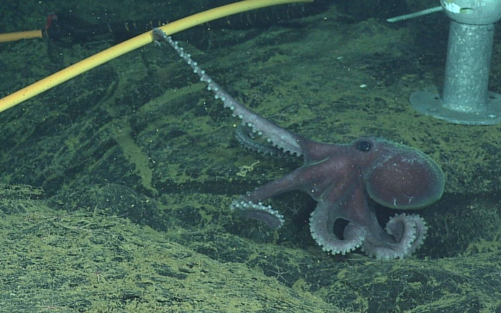 Graneledone Octopus investigates a J-Box on Axial Seamount