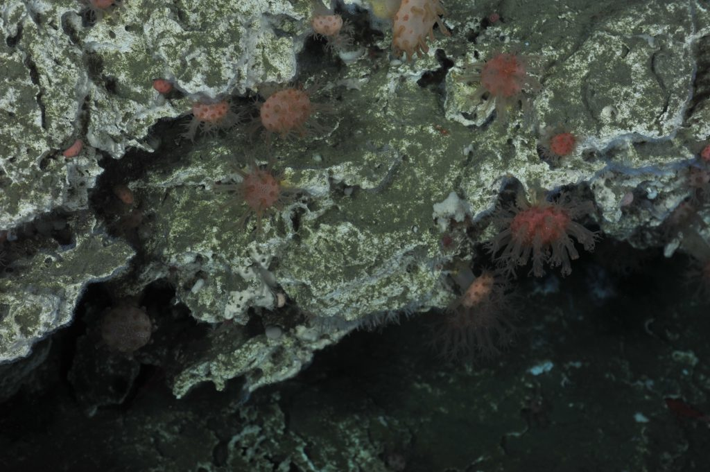 Beautiful soft corals inhabit the hard carbonate substrate of the 60 foot tall Pinnacle structure west of the major seep sites at Southern Hydrate Ridge. This site, at a water depth of ~ 550 m, hosts numerous white and orange bacterial mats, marking sites of weak venting of methane-rich fluids. The almost pummice-like structure of the pinnacle provides ample places for animals to live - small shrimp are extremely abunant. The Pinnacle is likely the fossilized 'throat'/plumbing system for a more ancient seep site that once inhabited this area.