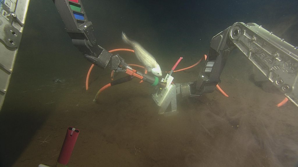 A fish at 8000 ft beneath the surface investigates ROV operations at the summit of Axial Volcano.  Photo credit: NSF-OOI/UW/CSSF