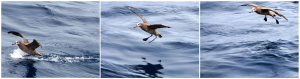 An albatross comes in for a landing near R/V Thomas G. Thompson. (photos by Allison Fundis, University of Washington, V13)
