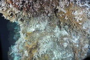 A close up of the diverse ecosystems hydrothermal vents, such as El Guapo pictured here, support. (credit: OOI/UW/CSSF)