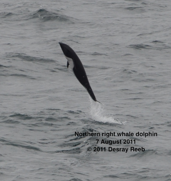 Northern right whale dolphin seen from the TE SubCom Dependable  --Photo by Desray Reeb
