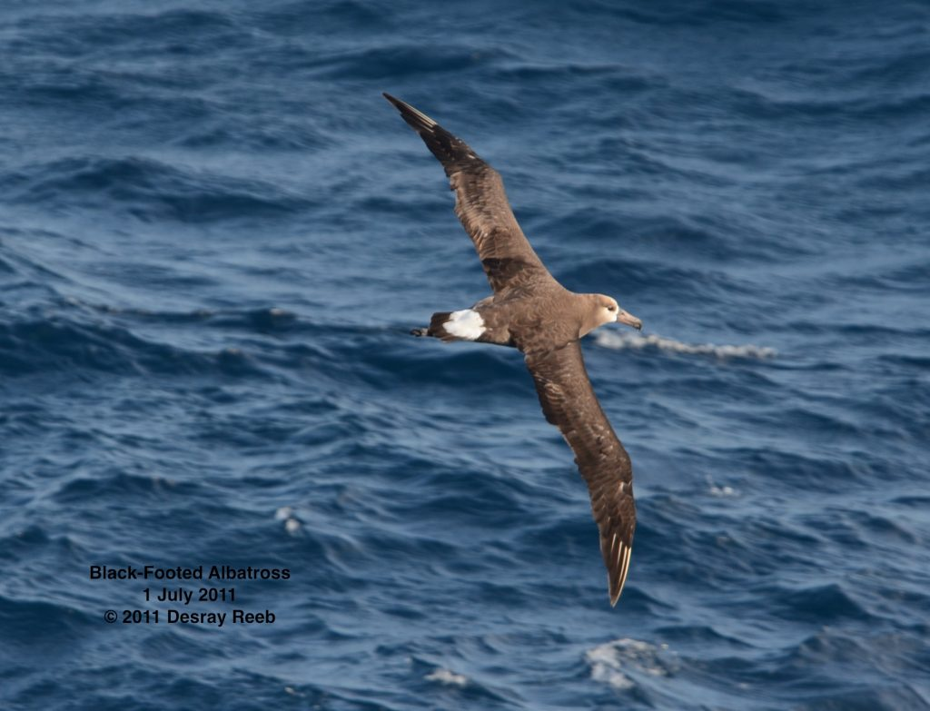 Black-footed albatross seen from the TE SubCom Dependable.  	--Photo by Desray Reeb