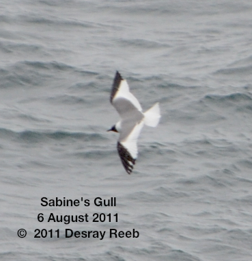 Sabine's gull on the TE SubCom Dependable.  --Photo by Desray Reeb