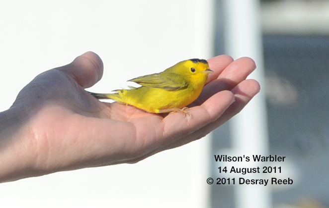 Wilson's warbler on the TE SubCom Dependable.  --Photo by Desray Reeb
