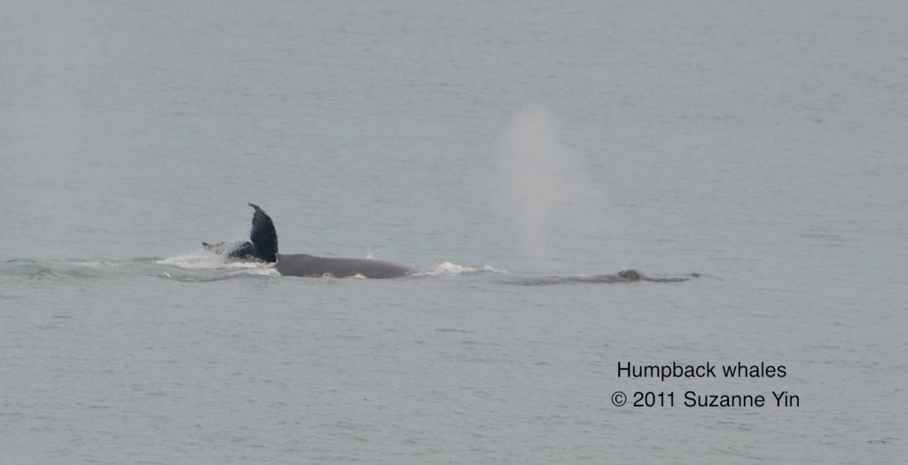 Humpback whales as seen from the TE SubCom Dependable.  	--Photo by Suzanne Yin