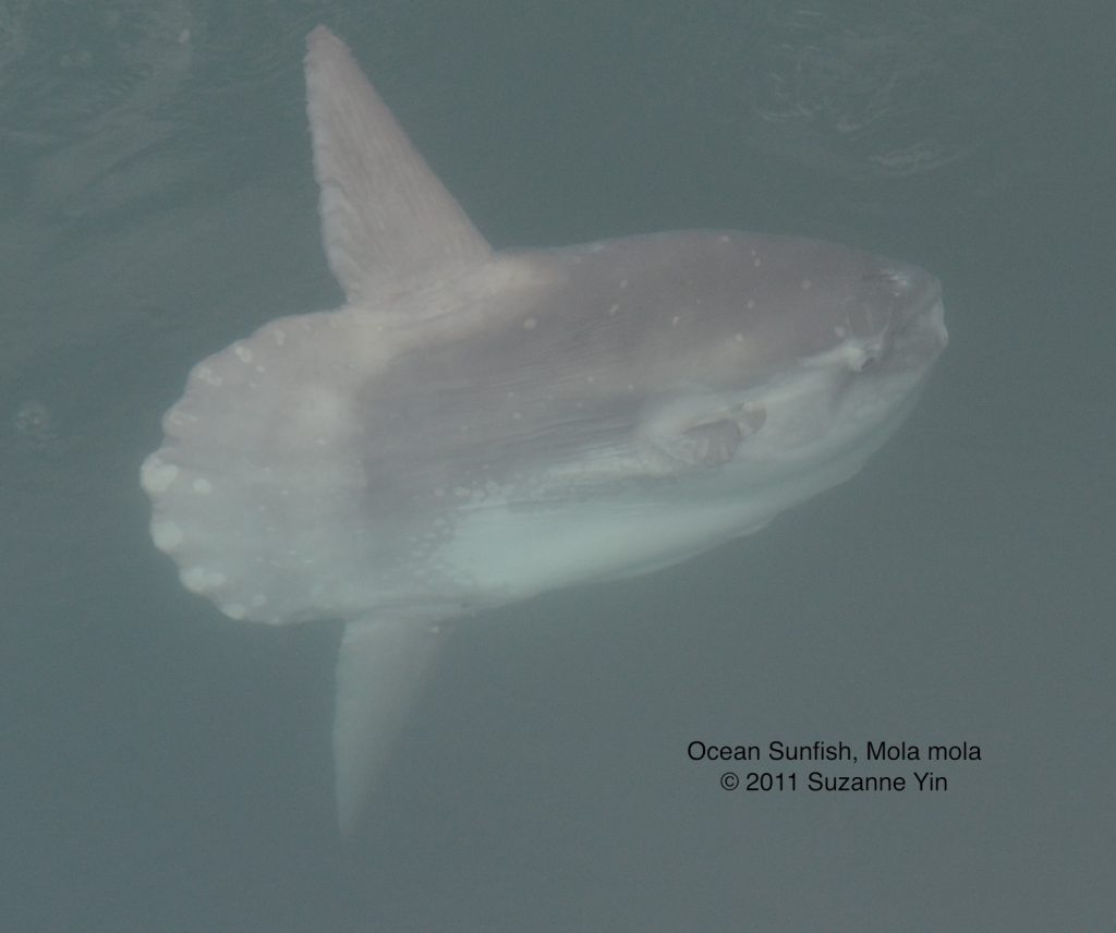 Ocean sunfish (Mola mola) seen from the TE SubCom Dependable.  	--Photo by Suzanne Yin