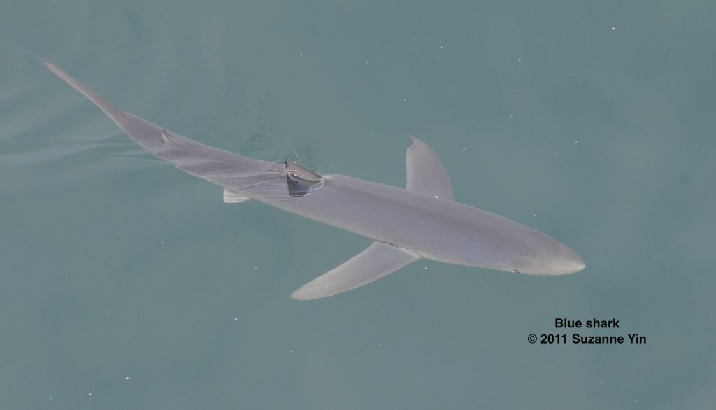 Blue shark seen from the TE SubCom Dependable.  	--Photo by Suzanne Yin
