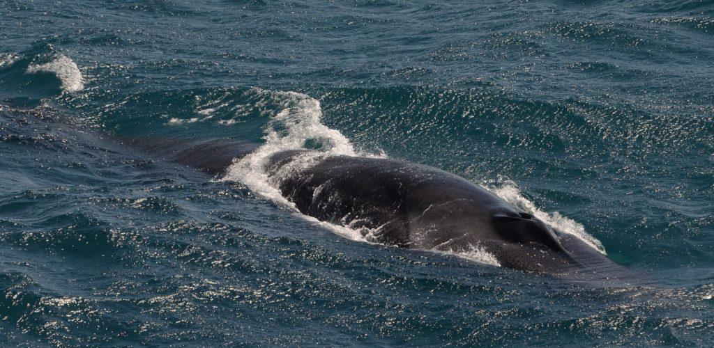 On 5 July 2011, marine mammal observers onboard the TE SubCom Dependable were treated to a close encounter with a Sei whale, the third largest baleen whale.  --Photo by Desray Reeb, marine mammal observer onboard the TE SubCom Dependable