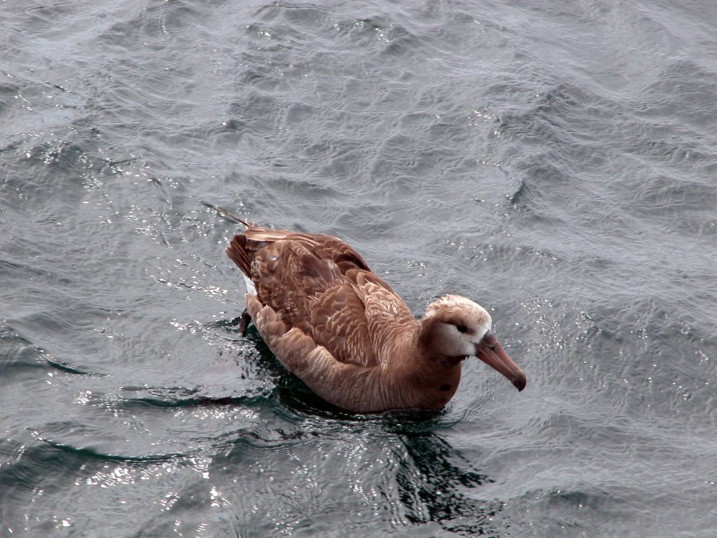 An albatross swims near the R/V Thompson following launching of the test frame.