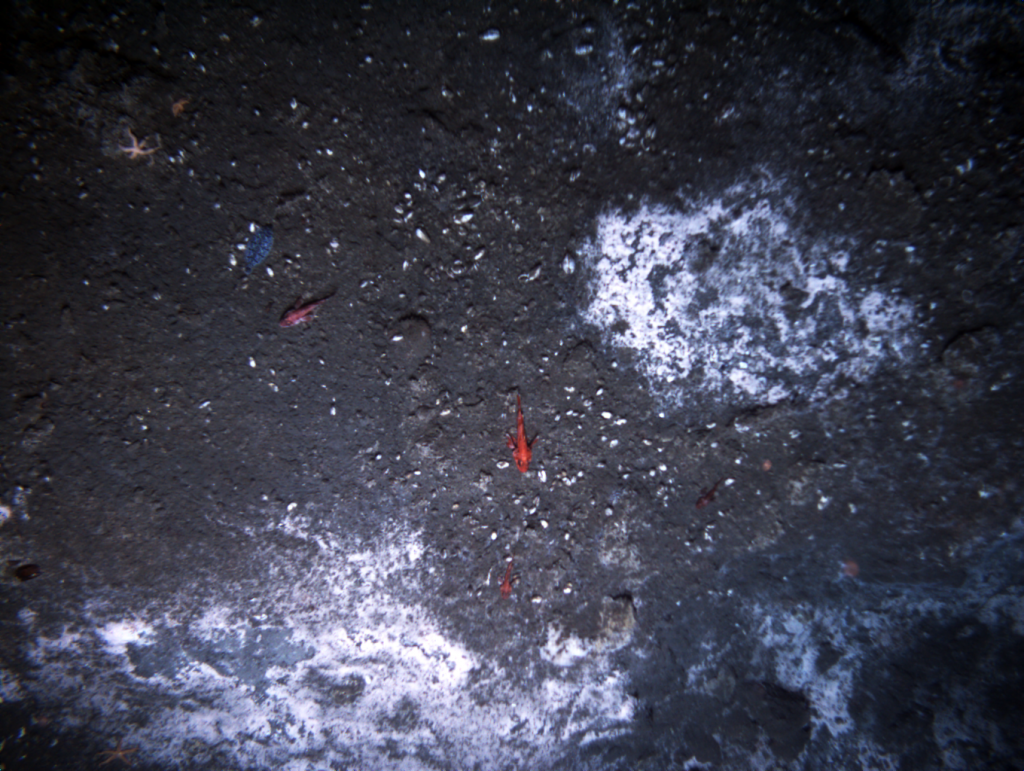 Methane seep with bacterial mats imaged by Jason during dive 508 at Southern Hydrate Ridge.
