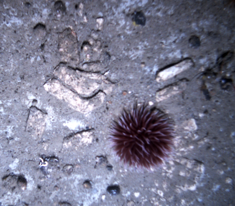 Anenome at Grays Canyon in rubbly area.