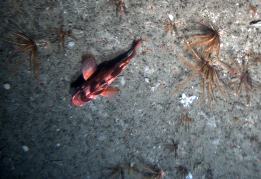 Rock fish imaged with Jason at the end of the site survey for offshore Grays Harbor mooring as part of the Coastal Scale Nodes component of the Ocean Observatories Initiative.