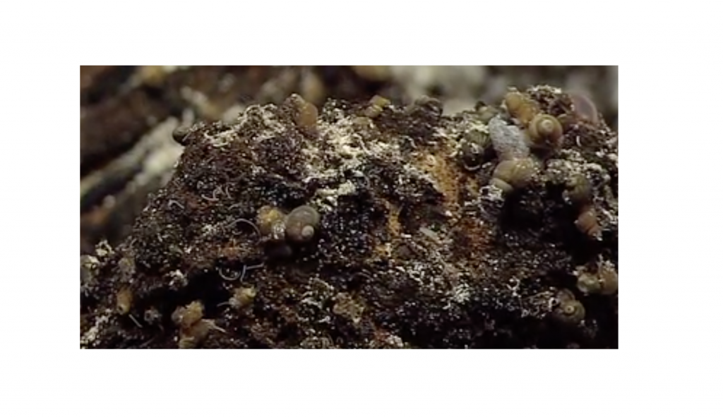 Glob Snails on Escargot Vent, Axial Seamount. Photo credit: NSF-OOI/UW/WHOI; V11