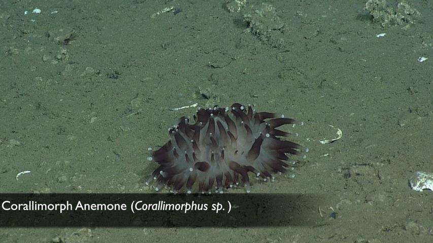 corallimorphanemone-poster