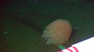 A Pom Pom anemone on sedimented seafloor 8530 ft beneath the oceans' surface. Credit: UW/NSF-OOI/WHOI; V19.