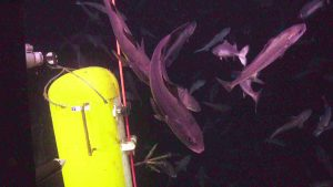 A swarm of black cod inspect the Deep Profiler vehicle at the Oregon Offshore Site. Credit: UW/NSF-OOI/WHOI' V19.