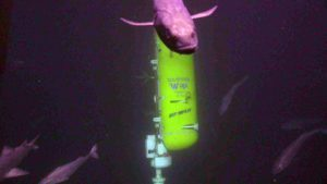 The ROV Jason comes face to face with a black cod during swapping of the Deep Profiler vehicle at the Oregon Offshore Site. Credit: UW/NSF-OOI/WHOI; V19.