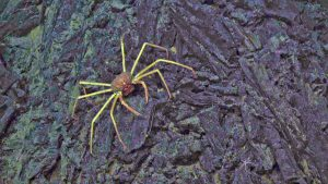 A spider crab and 1500 m water depth walks across a glassy, jumbled sheet flow in the International District vent field. Credit: UW/NSF-OOI/WHOI; V19.