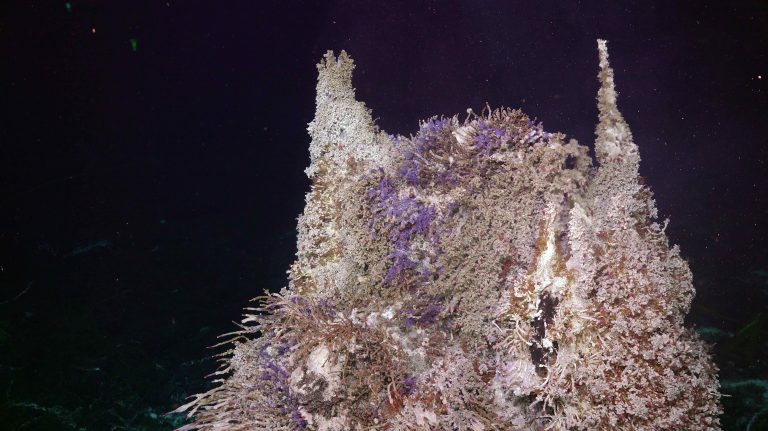 Small chimlets sprout from the top of Mushroom, covered in blue ciliates, palm and tubeworms and limpets. Credit: UW/NSF-OOI/WHOI. V20.