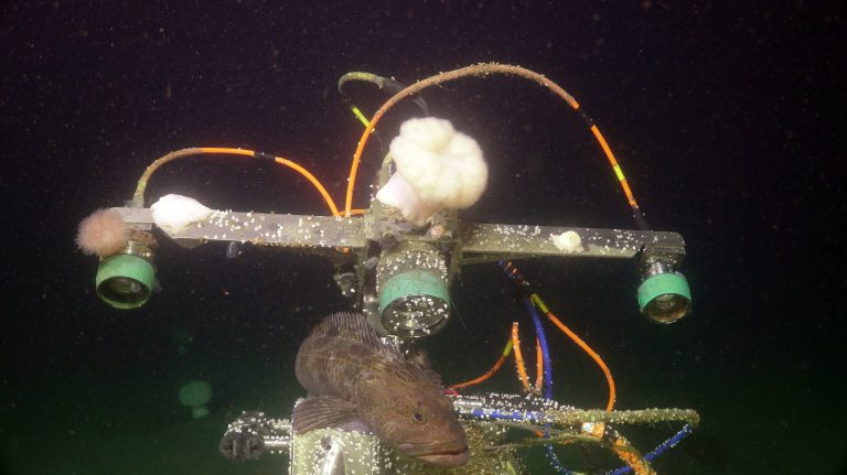 A cod brushes against the digital still camera at the Oregon Shelf site (80 m). Credit: UW/NSF-OOI/WHOI. V20.