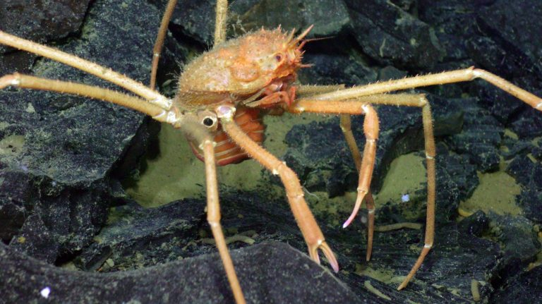 A spider crab delicately walks across glassy rubble in a small collapse pit. Credit: UW/NSF-OOI/WHOI: V20.