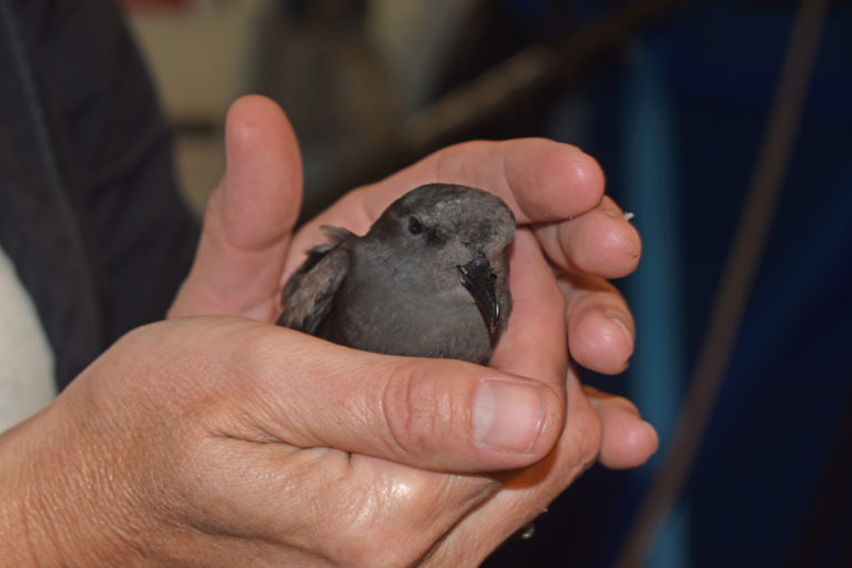 A beautiful storm petrel briefly joined the ship on Leg 1 of VISIONS'21. Credit: M. Elend, University of Washington, V21.
