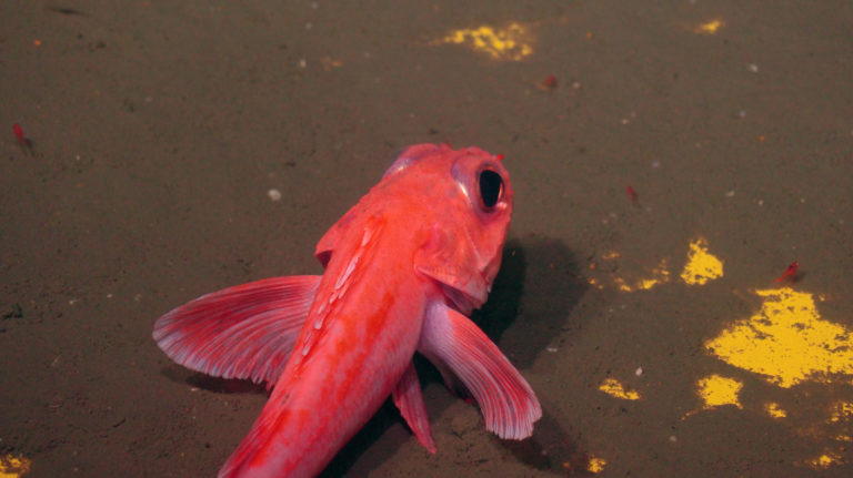 A rockfish rests on the top of Primary Node PN1B. Credit: UW/NSF-OOI/WHOI, V21.