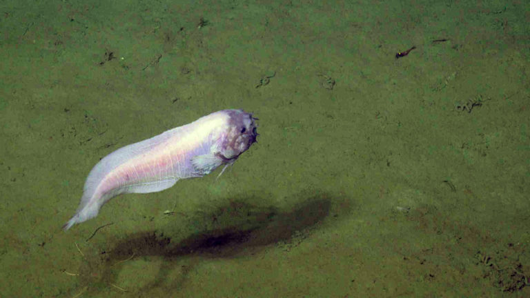 The weird fish (Genioliparis ferox) first imaged in 2014 by ROPOS at the Slope Base site (2900 m) visits us again with the ROV Jason. It was first described in 1978 off Oregon(884 m)  2 from a single specimen and never seen afterwards. Credit: UW/NSF-OOI/WHOI; V21.