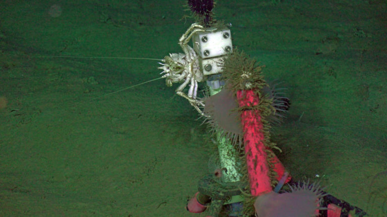 A squat lobster and venus flytraps cover a tripod at 2900 m at the Slope Base site. Credit: UW/NSF-OOI/WHOI, V21.