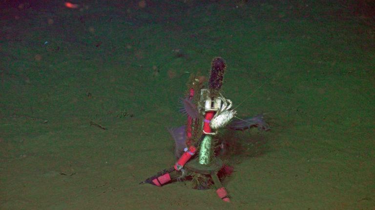 Squat lobster_Venus _ slope Base_sulis_20210807040329