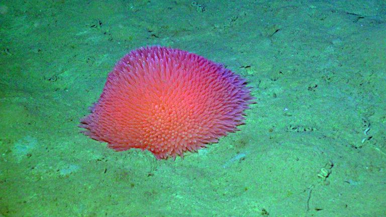 Pom Pom anemone at 2900 m water depth, Slope Base site. Credit: UW/NSF-OOI/WHOI; V21.