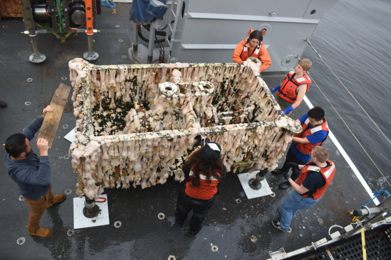 The VISIONS Team attempting to clean the sheep by removing the many anemones. Credit: R. Scott, University of Washington, V21.